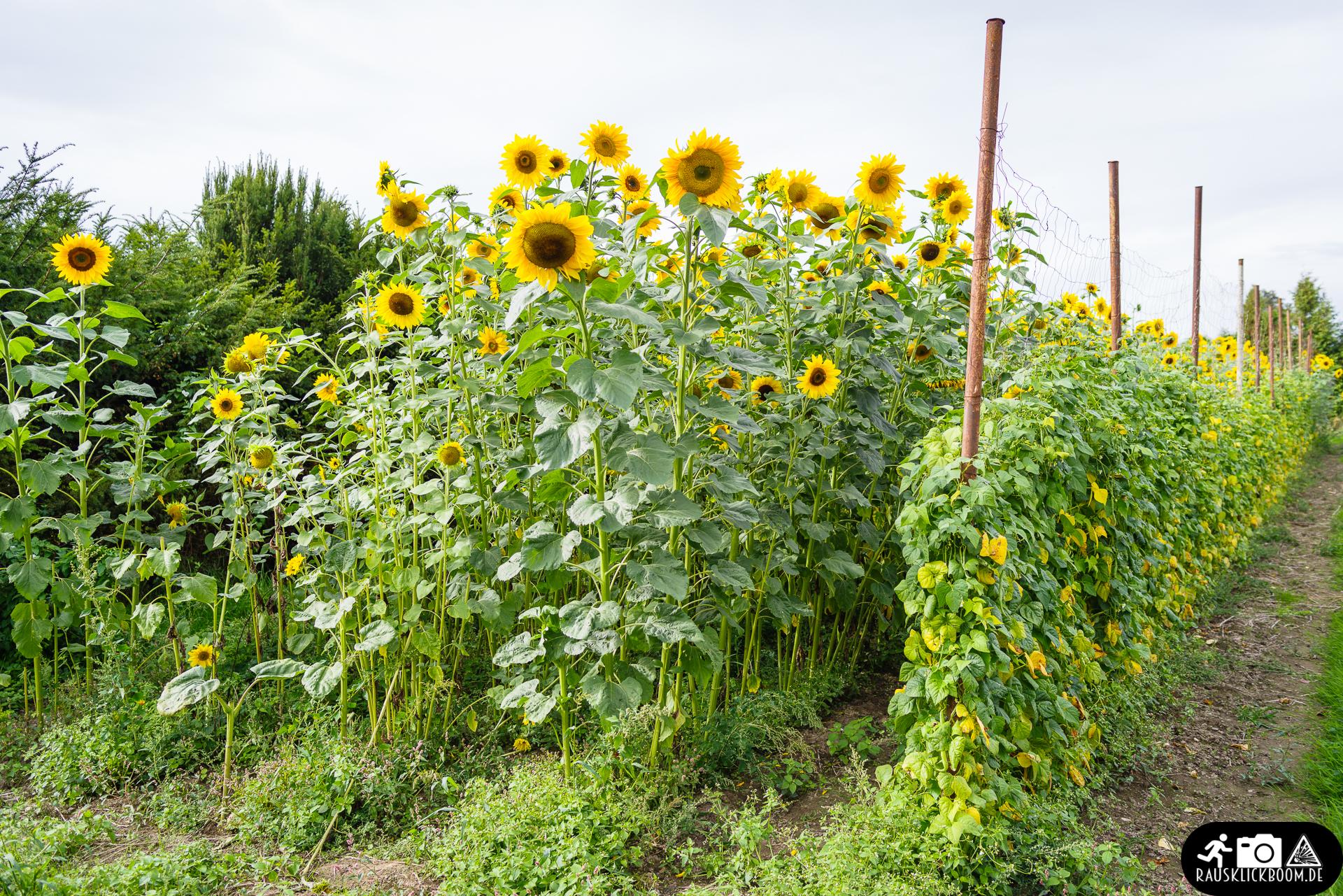 Sonneblumen.jpg